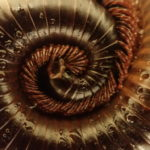 A giant African millipede curled up